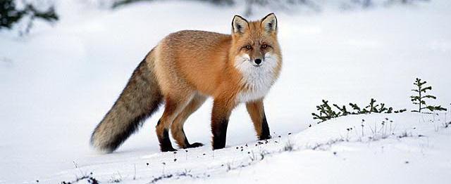 Vulpea vesteşte an roditor şi iarnă lungă (VIDEO)
