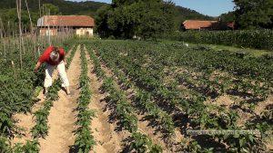 Pasiune şi voinţă duse la extrem - agricultură la 100 de km!  (VIDEO-Galerie FOTO)